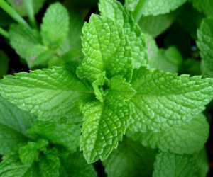 pudina, Mentha Mint leaves